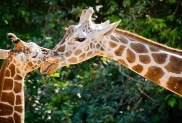 Las jirafas entran en la lista de animales en peligro de extinción
