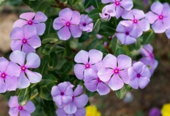 Planta herbácea Vincapervinca podría ayudar a combatir el cáncer