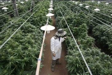 Israel da luz verde a exportación de mariguana medicinal