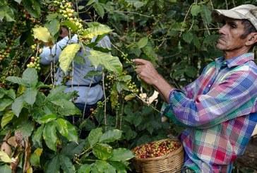 Productores de café afectados por escasa mano de obra nacional para el corte del aromático