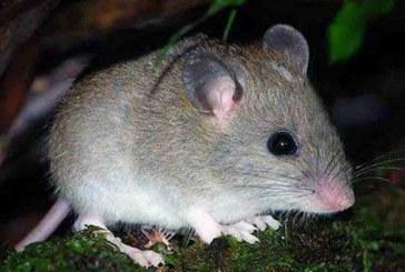 Desaparece la primera especie de mamífero por el cambio climático