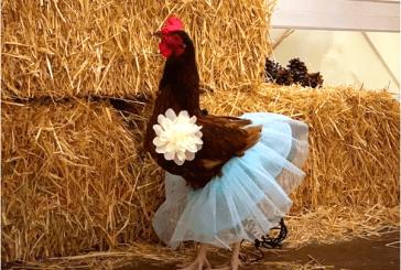 ¡Increible! Pareja de novios utiliza a una gallina como dama de honor en su boda