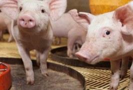 Sector de la porcicultura ha crecido en 11,1% en los últimos cinco años