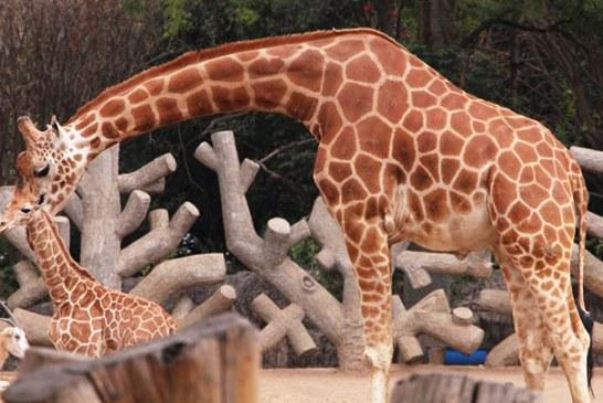 El bautizo de una jirafa bebé que ha conmocionado todo México