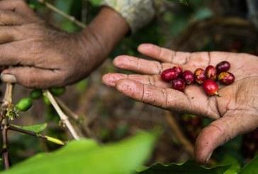 Competencia cafetalera Oro Santa Bárbara comenzará este lunes