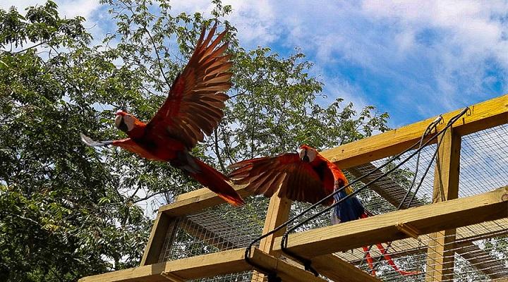 Ocho guacamayas rojas son liberadas por programa de reproducción en Copán Ruinas