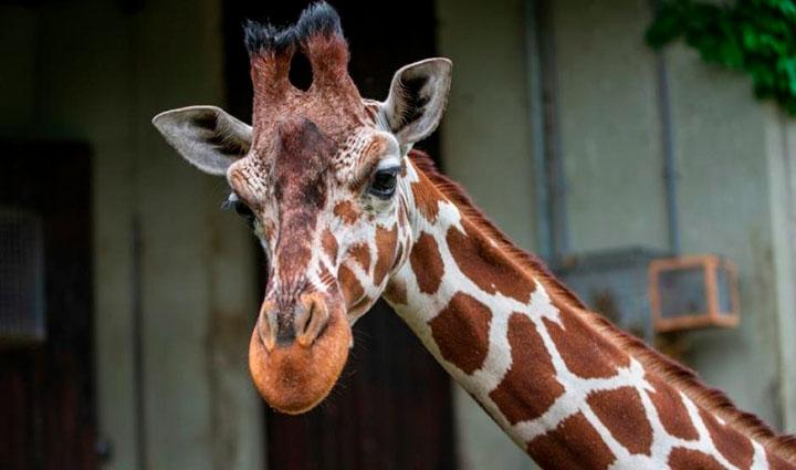 Borracho decide montar una jirafa y este fue el inesperado resultado (VIDEO)