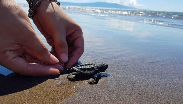 Liberan 900 crías de tortugas golfinas al clausurar proyecto de conservación en Golfo de Fonseca