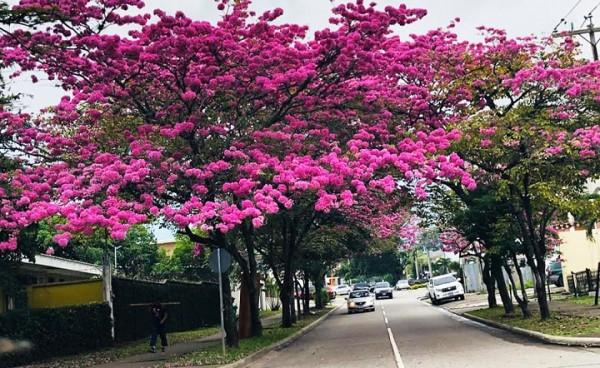 Los Macuelizo en flor embellecen San Pedro Sula