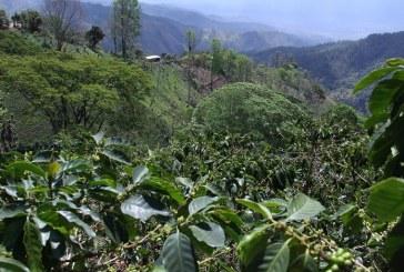 Organizarán taza de excelencia de Café de El Merendón