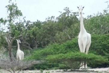 ¡Brutalidad! Cazadores matan a la única jirafa blanca y a su cría