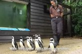 En Singapur sacan a pasear a los pingüinos para que no se aburran