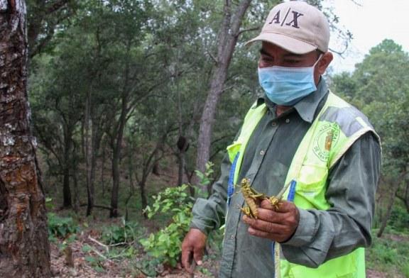 Alerta ante la presencia de langostas voladoras en la Cordillera de El Merendón