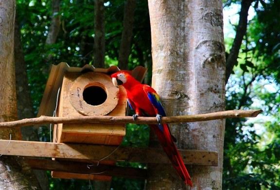 Diez ejemplares de Guara Roja fueron liberadas en el Parque de Aves Macaw Mountain