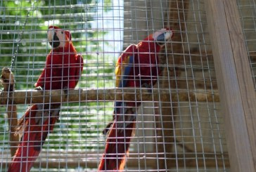 En Copán Ruinas: seis guaras rojas serán liberadas durante el Guacamaya Fest