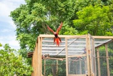 Para preservar la especie: seis guaras rojas nacidas en cautiverio son liberadas en Copán Ruinas