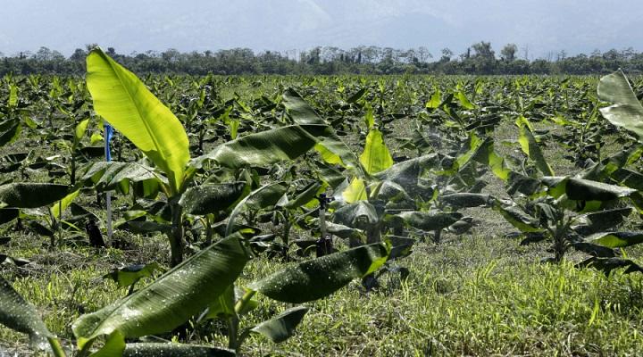 En Cortés: Más de 4.500 empleos esperan reactivar en sector bananero con bono del Gobierno
